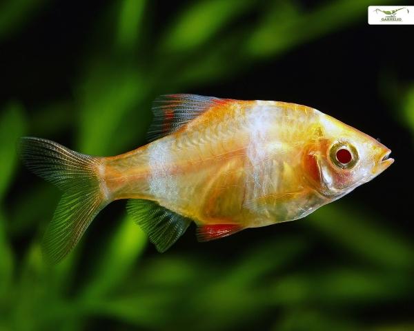 """Sumatrabarbe """"gold"""" - Barbus tetrazona"""
