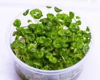 Hutpilzpflanze - Hydrocotyle verticillata, InVitro Becher