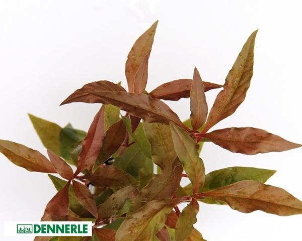 Breitblättriges, rotes Papageienblatt - Alternanthera reineckii - Dennerle Topf