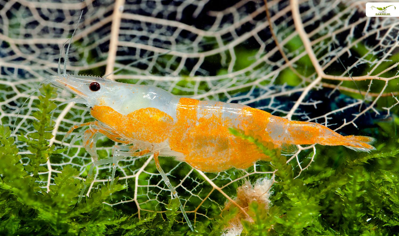 Orange Rili Garnelen werden auch Sunkist Rili Shrimp genannnt.