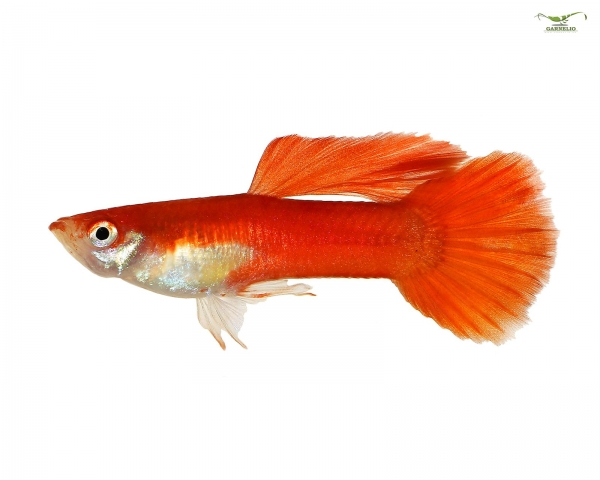 """5 x Guppy männlich """"red blond"""" - Poecilia reticulata"""