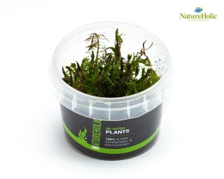 Rotala wallichii - NatureHolic InVitro