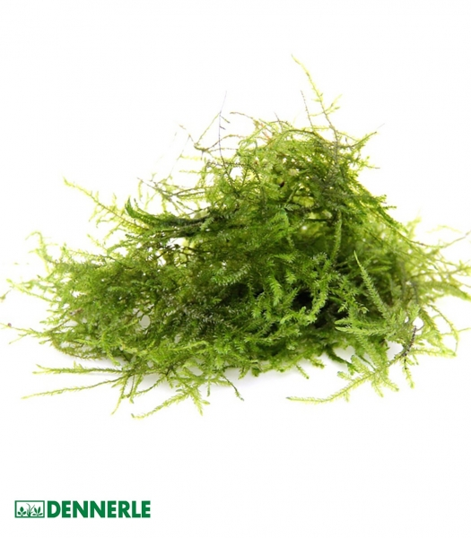 Taxiphyllum barbieri - Dennerle Portion