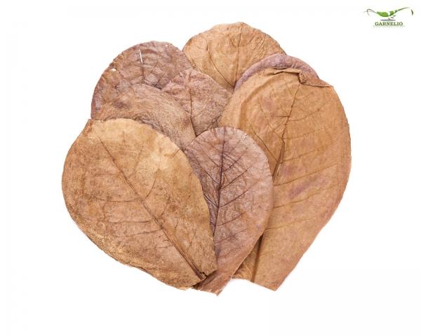 Seemandelbaum Blätter / Catappa Blätter - small - 12 Stk