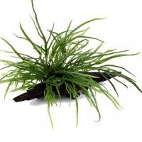 Schmalblättriger Javafarn - Microsorum pteropus 'Trident' - Tropica Pflanze auf Wurzeln