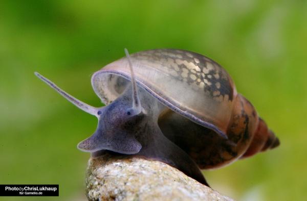 Blasenschnecke - Physa sp.