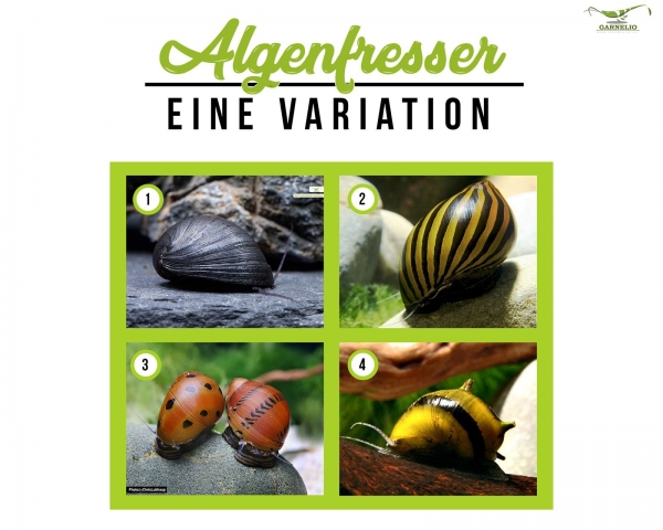 Algenschnecke - Neritinia Clithon