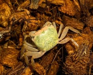 Grüne Smaragd Krabbe - Metasesarma spec.