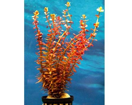 Kleinblättrige Rotala - Rotala rotundifolia rot - Bund / Topf