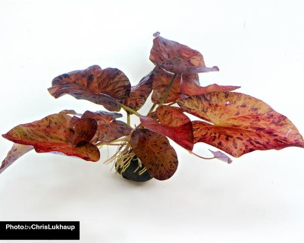 Roter Tigerlotus - Pflanze mit Knolle - Nymphaea lotus rubra