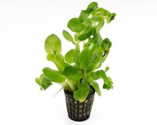 Carolina-Fettblatt - Bacopa caroliniana - NatureHolic Plants - Topf