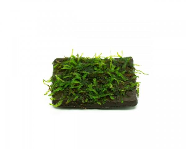 Angewachsenes Moos auf Terrakotta - 5 x 5cm - vers. Varianten