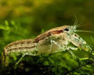 Texanus Zwergkrebs - Cambarellus texanus