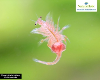 Salinenkrebse / Artemia - NatureHolic Lebendfutter