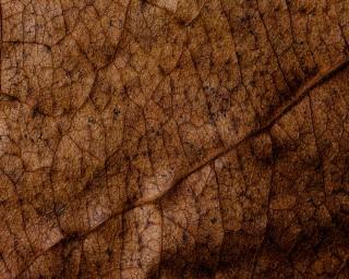 NatureHolic Seemandelbaumblätter (L) - 10 stück - 7 - 12 cm