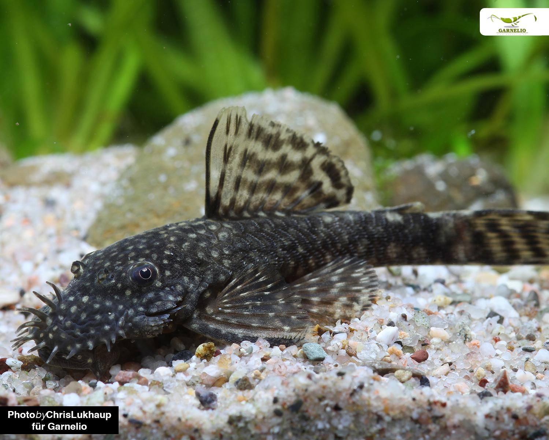 Harnischwelse - perfekte Partner für Garnelen | Aquarianer ...