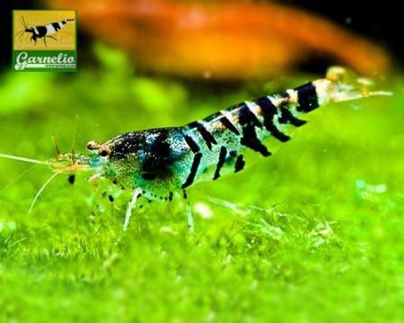 Super Tigergarnele - Caridina mariae