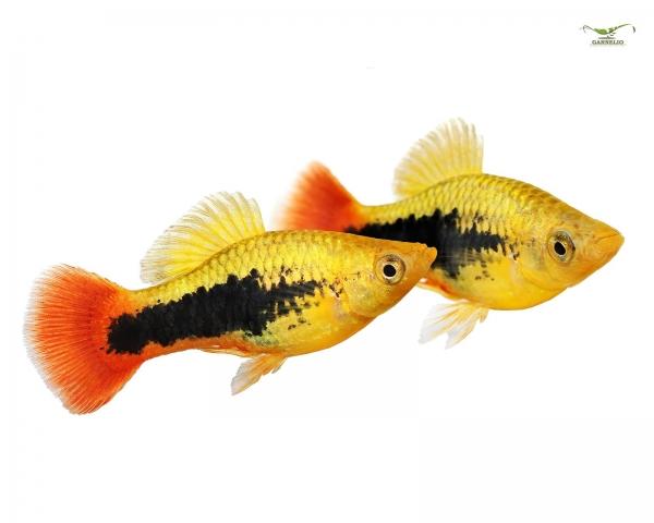 "Papageienplaty ""Hawaii"" - Xiphophorus variatus"