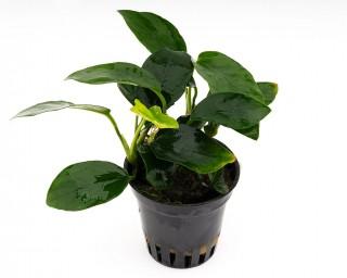 Zwergspeerblatt - Anubias barteri var. Nana - NatureHolic Plants - Topf