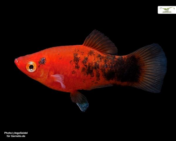 """Platy """"korall berliner"""" - Xiphophorus maculatus"""