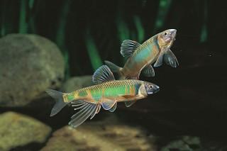Japanischer Drachenfisch - Zacco platypus