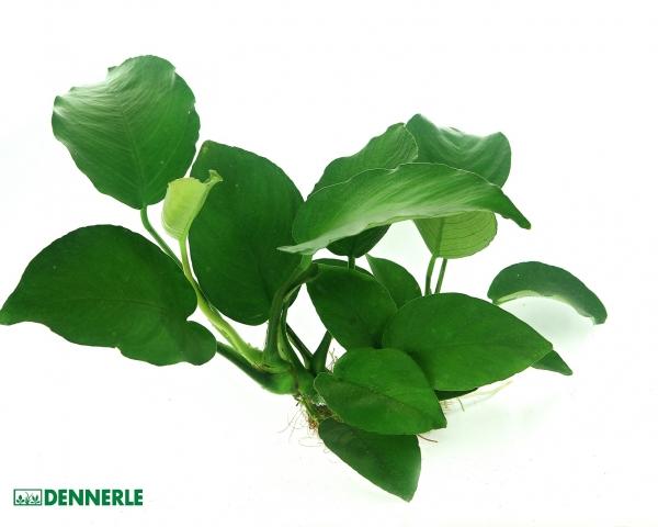 Breitblättriges Speerblatt - Anubias barteri - Dennerle Topf