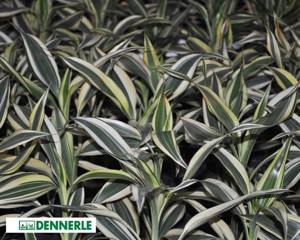 Weißbunter Drachenbaum , Dracaena sanderiana - Dennerle Topf