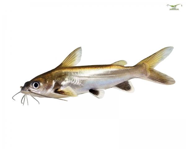 Minihai - Arius seemani