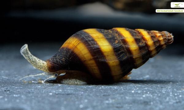 Raubschnecke - Clea helena (Anentome helena)