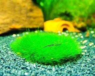 Nanocoin mit Moos - Aquarium Deko