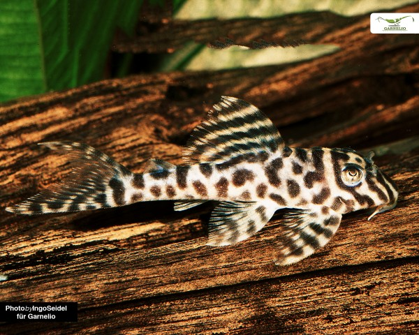 L66 King Tiger Pleco - Hypancistrus spec. - DNZ 6-7 cm