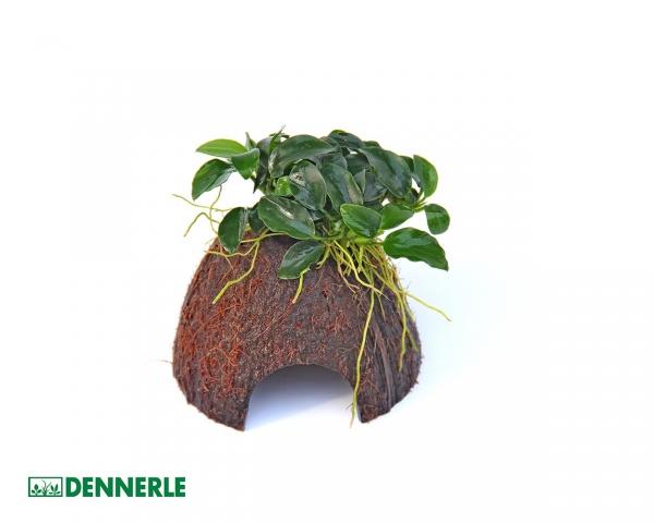 Kokosnuss bewachsen, Coco Cave mit Anubias nana Bonsai - Dennerle