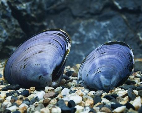 Blaue Herzmuschel - Batissa violacea