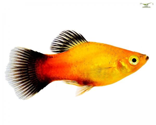 Deutschland Platy - Xiphophorus maculatus