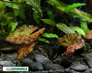 Roter Tigerlotus - Nymphaea lotus - Knolle - Dennerle