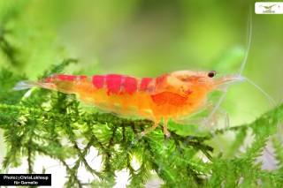 Red Calceo Bee - Caridina sp.