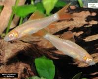 Goldener Fransenlipper - Epalzeorhynchos frenatum