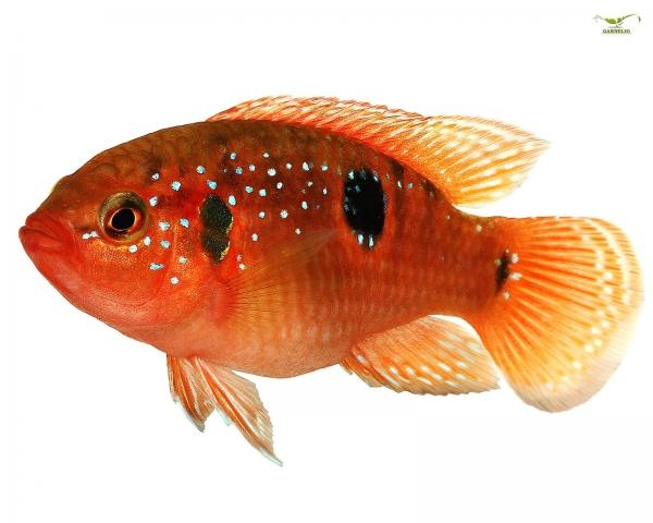 2x Roter Buntbarsch - Hemichromis bimaculatus - DNZ Pärchen