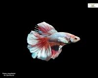 Kampffisch männlich Halbmond xl
