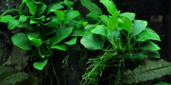 Bonsai-Zwergspeerblatt - Anubias 'Petite' - Tropica Topf