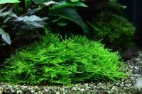 1-2-GROW! Spikymoos / Taxiphyllum 'Spiky'