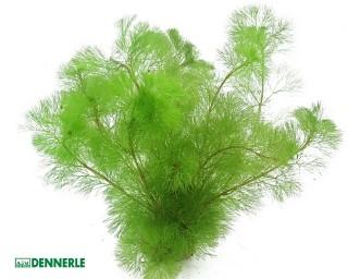 Feinblättrige Riesenhaarnixe - Cabomba aquatica - Keramikring Dennerle