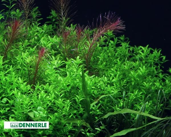 Zierliches Perlkraut - Micranthemum glomeratus - Dennerle Topf