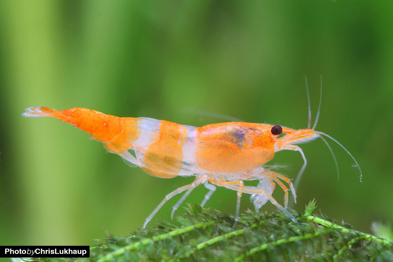Orange Rili Garnelen ist eine Zuchtform die aus Taiwan kommt
