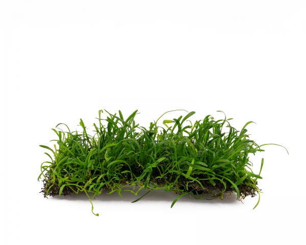 Neuseelandgras - Pflanzen Matte mit Saugnapf - Lilaeopsis novae-zelandiae - 4x13 cm