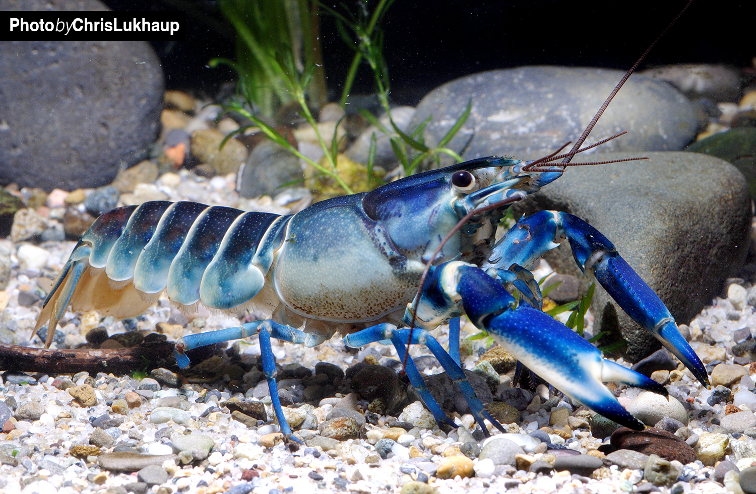 Blue Moon Krebs - Cherax