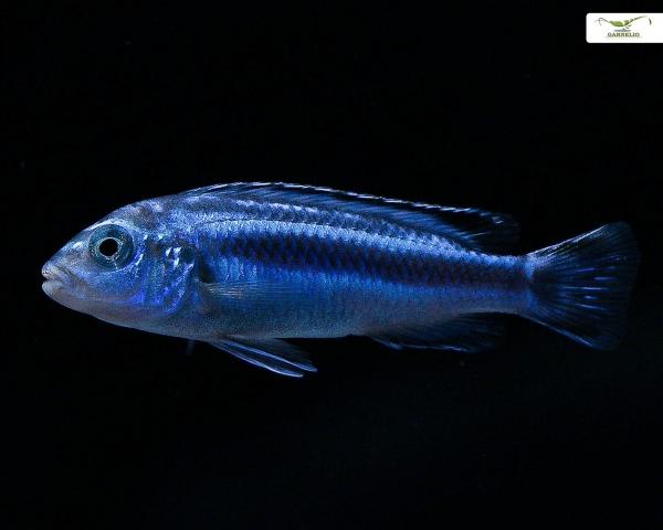2 x Stahlblauer Johanni-Maingano Melanochromis cyaneorhabdos (johannii Maingano ) - Pärchen