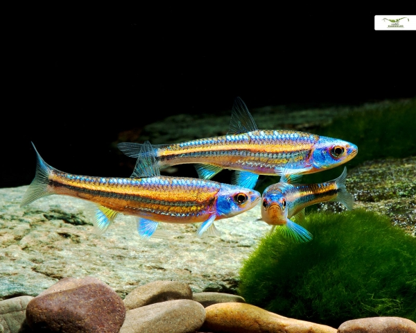Regenbogenelritze - Notropis chrosomus - DNZ (Aquarium & Teich)