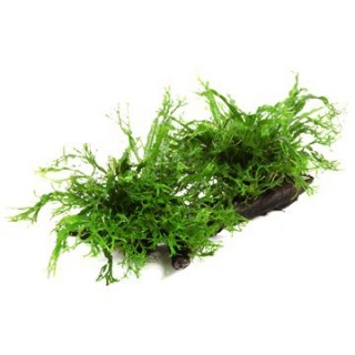 Windeløv-Javafarn - Microsorum pteropus 'Windeløv' - Tropica Pflanze auf Wurzeln (XL)