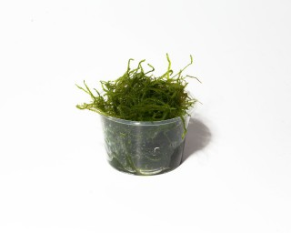 Garnelio - Javamoos - Taxiphyllum barbieri - Portion